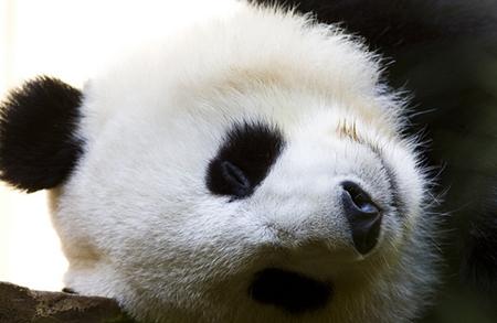 panda_content.jpg